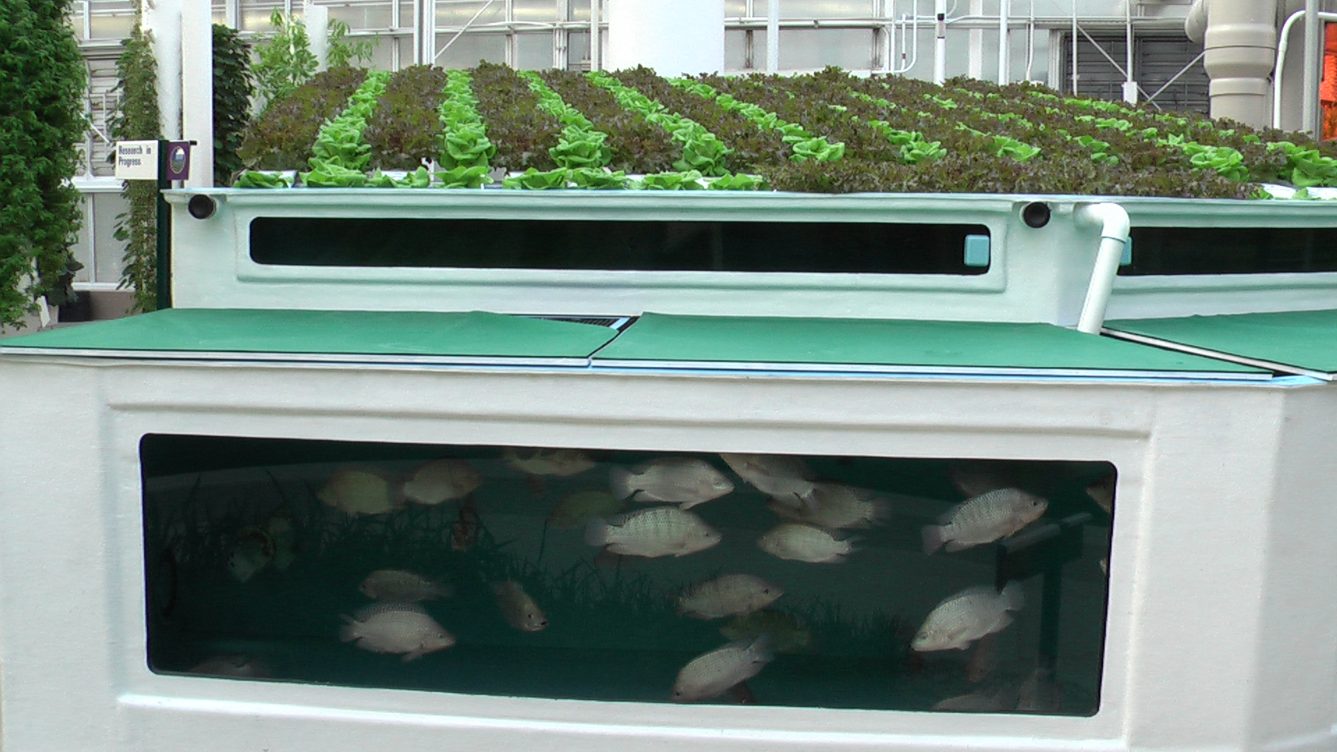 Aquaponics cold water fish for Fish tank hydroponic garden